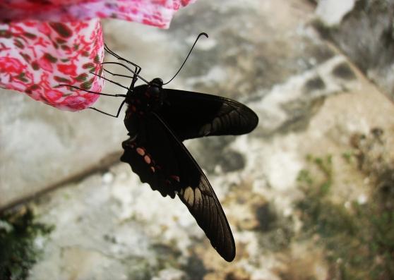 borboleta2